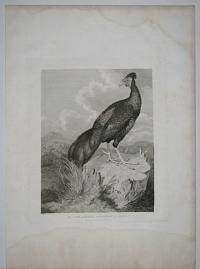 The Fire-Backed Pheasant of Java.
