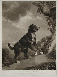 A Danish Terrier - From the original Picture in the possession of T. Lister Parker Esq.r.