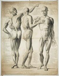 [Untitled plate of male musculature.]