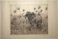 African Buffalo in Papyrus.