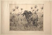 [African Buffalo in Papyrus].