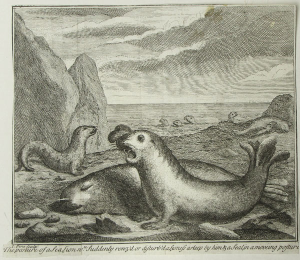 The Posture of a Sea Lion wn: Suddenly rowz'd or disturb'd a Lioness asleep by him & a Seal, in a moving posture