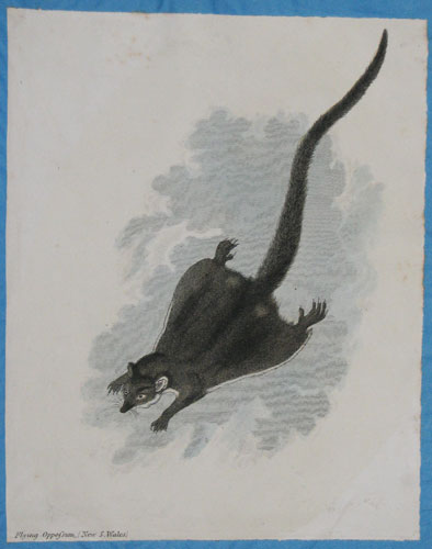 Flying Oppossum [sic], (New S. Wales.)