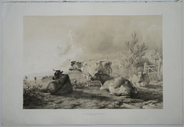 [Group of Cattle.]
