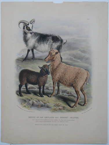 Breed of the Zetland and Orkey Breed.
