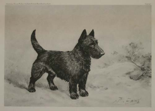 [Scottish terrier.]
