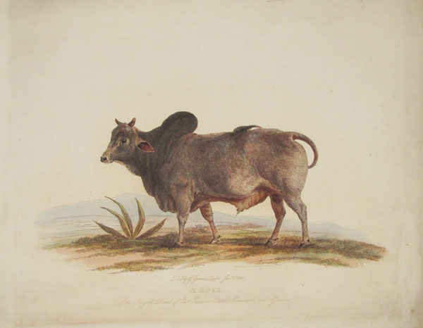 A Bull of the Largest Breed of East Indian Cattle Common in Guserat.