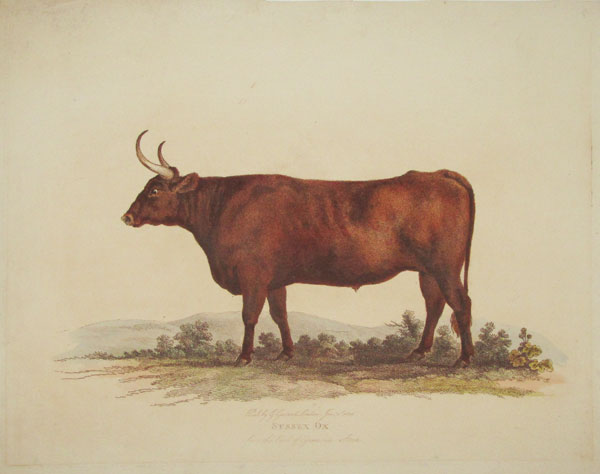Sussex Ox from the Earl of Egremonts Stock.