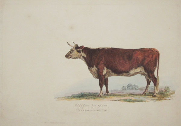 Herefordshire Cow.