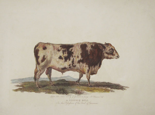 A Suffolk Bull In the Possession of the Earl of Egremont.