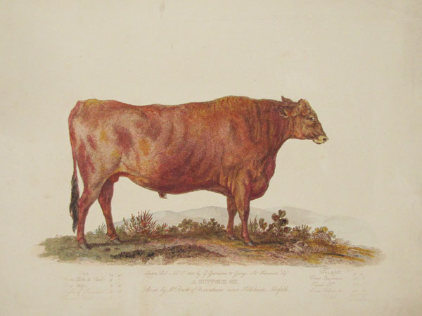 A Suffolk Ox Bred by Mr. Brett of Burnham near Holkham Norfolk.
