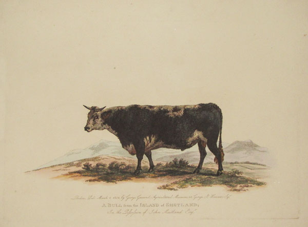 A Bull from the Island of Shetland, In the Possession of John Maitland Esq.r