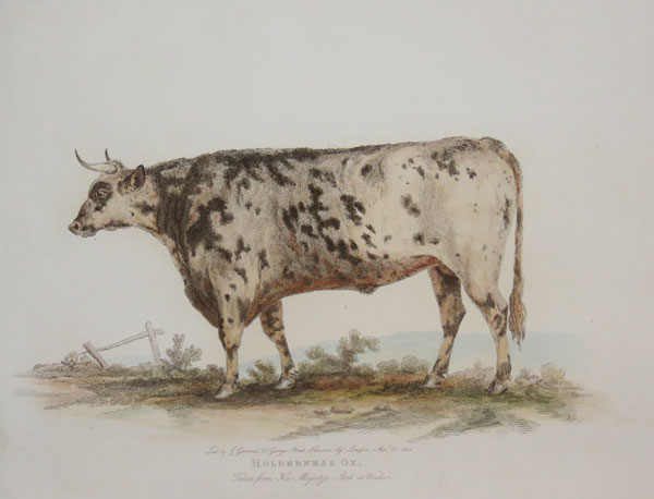 Holderness Ox, Taken from His Majesty's Stock at Windsor.