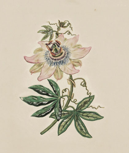 The Passion Flower was discovered in the Brazil's,