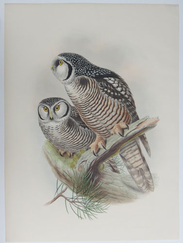 [Surnia Funeria - Northern Hawk Owl.]