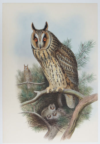 [Otus Vulgaris - Long-Eared Owl.]