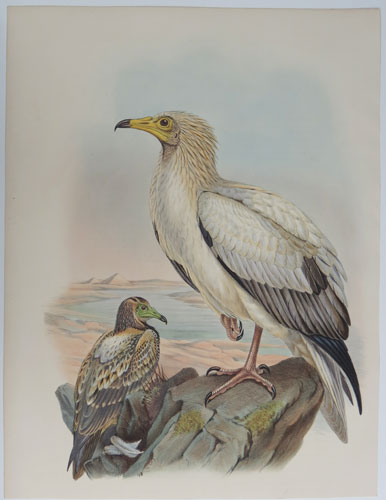 [Neophron Percnopterus - Egyptian Vulture.]