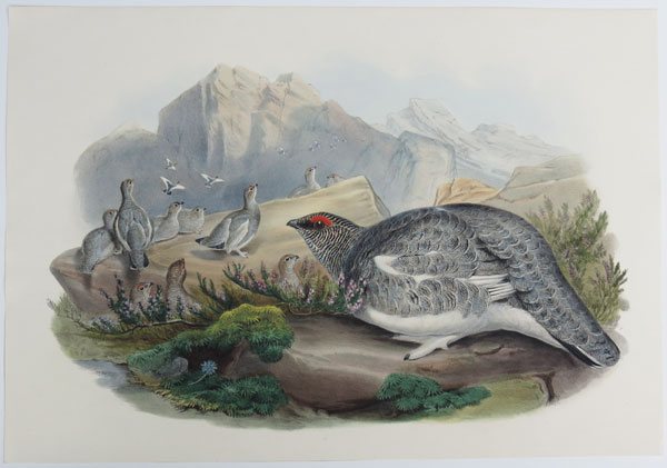[Lagopus Mutus - Ptarmigan, Autumn Plumage.]