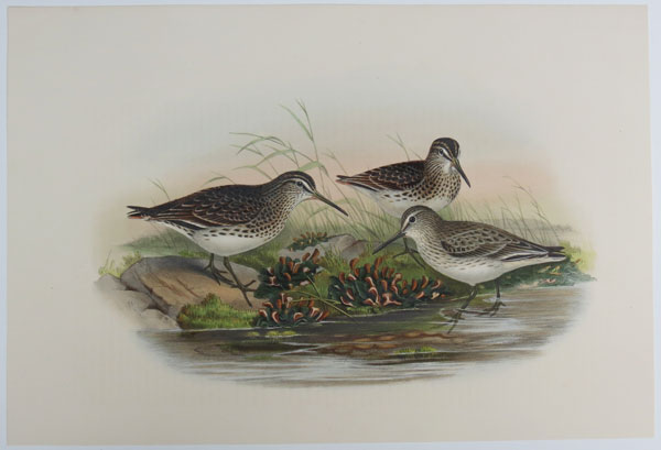 [Limicola pygmaea - Broad-billed Sandpiper.]