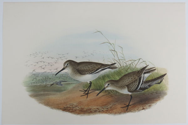 [Pelidna cinclus - Dunlin (Winter plumage).]