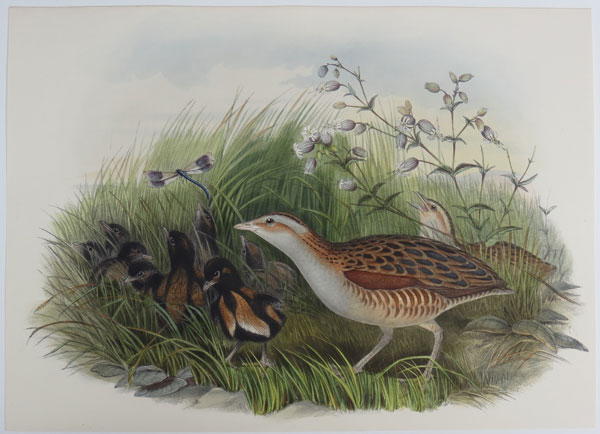 [Crex pratensis - Land-Rail, or Corn-Crake.]