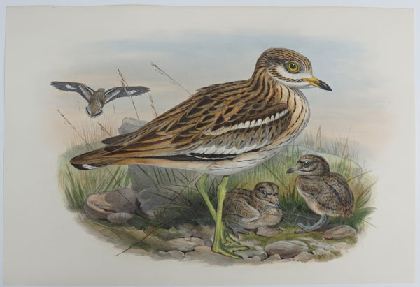 [Oedicnemus crepitans - Stone-Plover, or Thick-knee.]