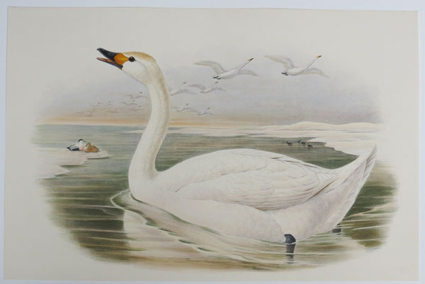 [Cygnus minor - Berwick's Swan.]