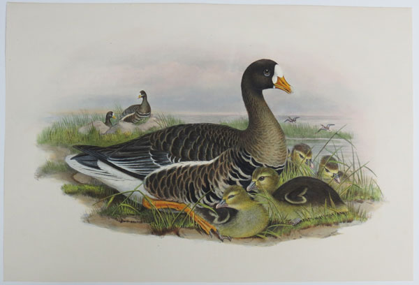 [Anser albifrons - White-fronted Goose.]