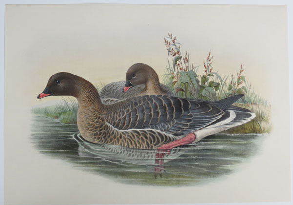 [Anser brachyrhynchus - Pink-footed Goose.]