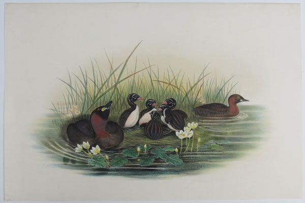 [Podiceps minor - Little Grebe or Dabchick.]