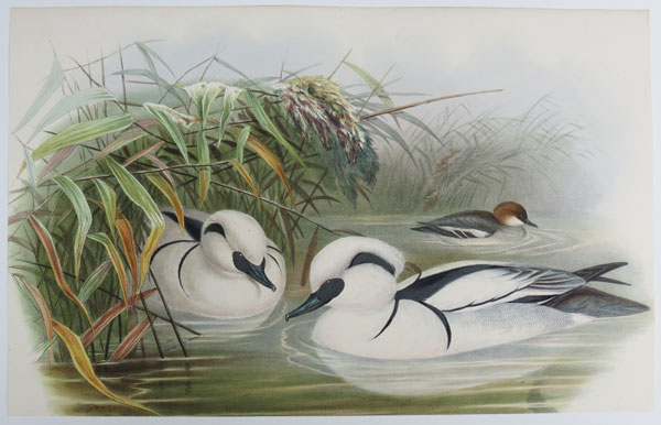 [Mergus albellus - Smew, or Nun.]