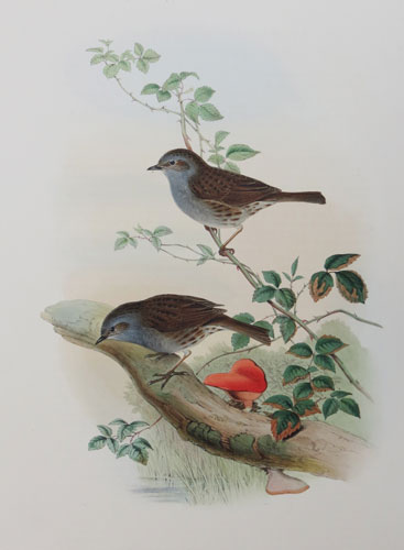 [Accentor modularis - Hedge-Accentor, or Hedgesparrow.]