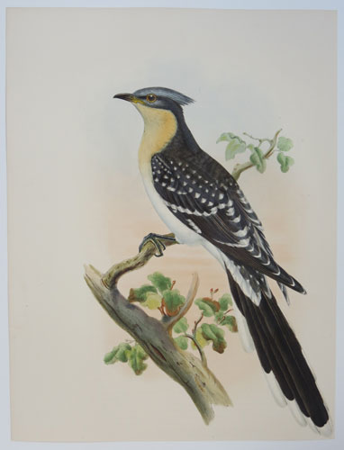 [Oxylophus Glandarius - Great Spotted Cuckoo.]