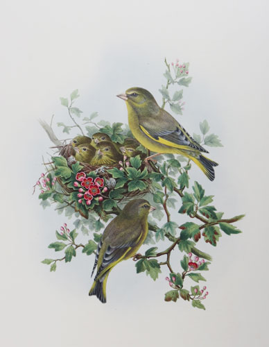 [Ligurinus Chloris - Greenfinch.]