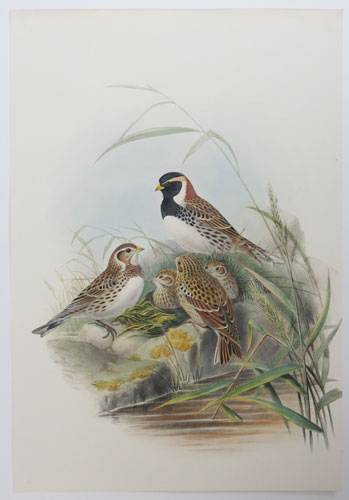 [Centrophanes Lapponica - Lapland Bunting.]