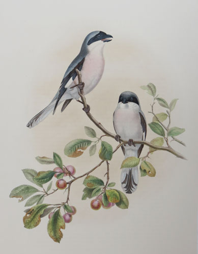 [Lanius Minor- Rose Breasted Shrike.]
