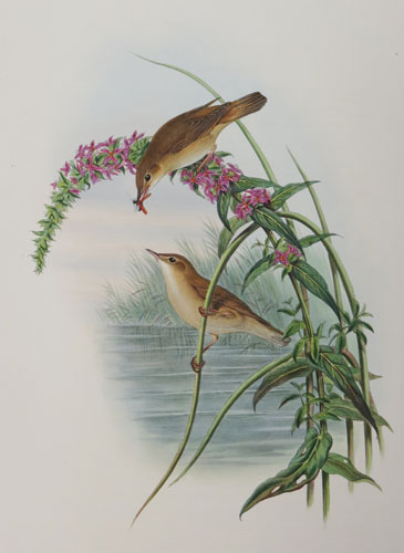 [Calamoherne palustris - Marsh Warbler.]
