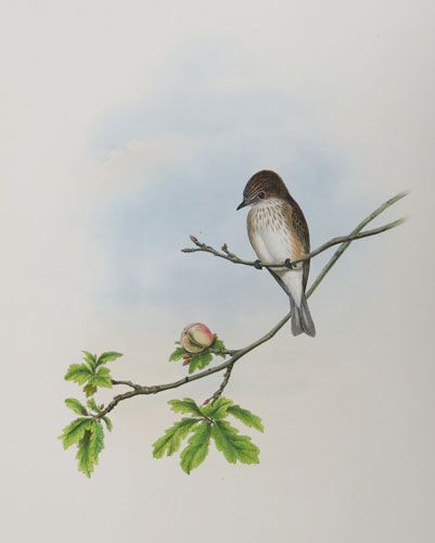 [Butalis grisola - Spotted Flycatcher.]