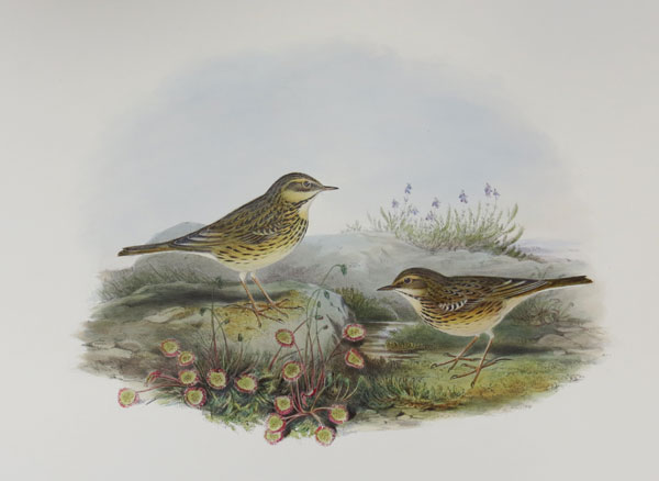 [Anthus pratensis - Meadow Pipit or Titlark.]