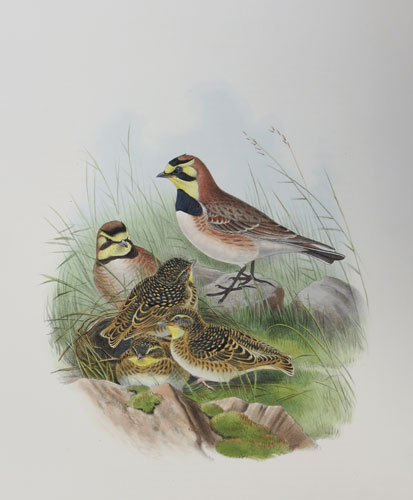 [Otocoris alpestris - Shore Lark.]
