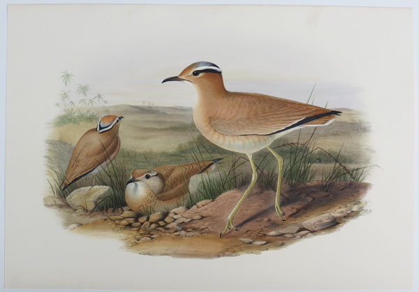 [Cursorius gallicus - Cream-Coloured Courser.]