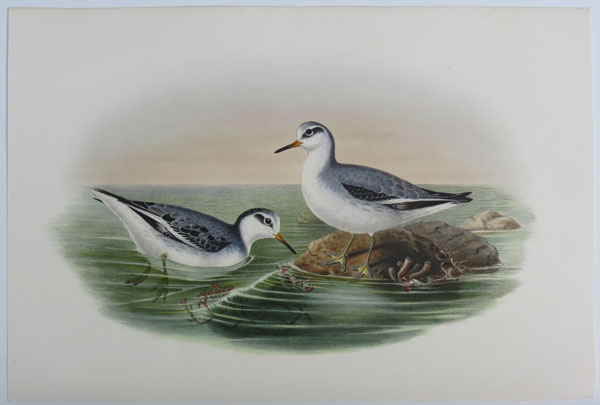 [Phalaropus fulicarus - Grey Phalarope in winter plumage.]