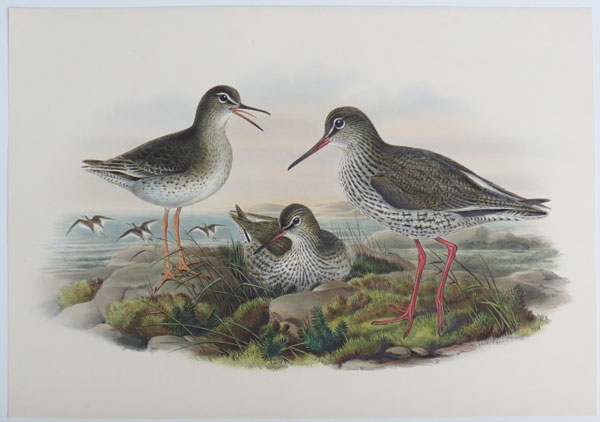 [Totanus calidris - Common Redshank.]