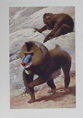 [The Mandrill. Plate XII. (Maimon mormon).]