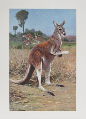 [The Red Kangaroo. Plate XV. (Macropus rufus).]