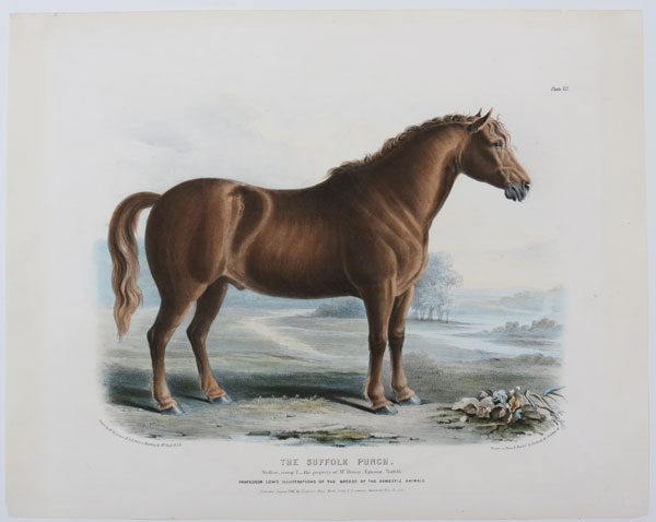 The Suffolk Punch.