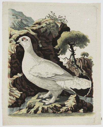 [Grouse in winter plumage.]