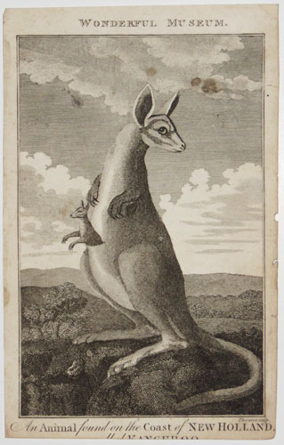 An Animal found on the Coast of New Holland, [called] Kangaroo.