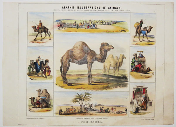 Graphic Illustrations Of Animals, Shewing Their Utility To Man, In Their Services During Life And Uses After Death. Pl. 8. The Camel.