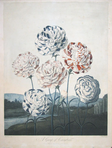 A Group of Carnations.